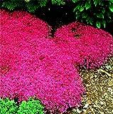 Creeping Thyme Samen oder Blau ROCK Kressesamen - Thymus Serpyllum- Staude Bodendecker Gartendekoration Blume 40pcs A043 rot Thymian