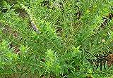 Lamiaceae Famiglia Scutellaria baicalensis Semi 500pcs, erbe perenni 0f Baikal Skullcap Semi, Magnoliophyta Huang Qin Semi