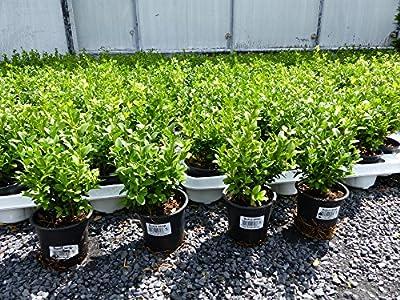 100 Premium Buxus Sempervirens 20 - 25 cm Buchsbaum Heckenpflanzen von JH Gruenwaren auf Du und dein Garten