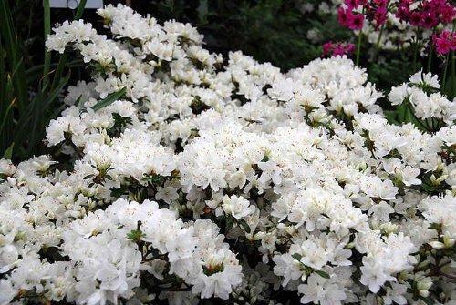 9cm-pot-azalea-diamant-white-diamond-garden-shrub-plant