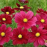 Lot de 50 graines Cosmos bipinné à gde fleurs Rubenza (Fleuroselect Novelty) annuel