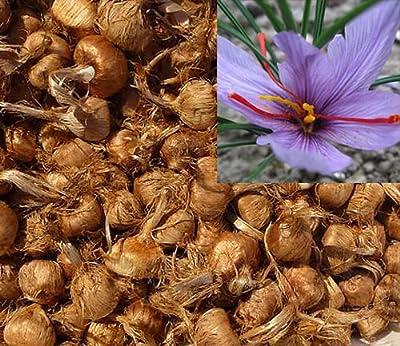 15 Stücke Safran Zwiebeln (Crocus Sativus) - Pflanzen Sie Ihren eigenen Safranpflanze, und sammeln Sie Ihre Safranfäden. von Saffron Value Türkei auf Du und dein Garten