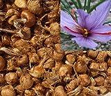 15 Stücke Safran Zwiebeln (Crocus Sativus) - Pflanzen Sie Ihren eigenen Safranpflanze, und sammeln Sie Ihre Safranfäden.
