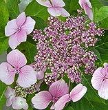 Bauernhortensie Mariesii Perfecta - Tellerhortensie - Hydrangea macrophylla Mariesii Perfecta