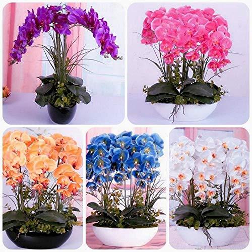 Shoopy Star 13: 20 Pcs Bonsaï Rare Bleu d'ÃRable Plantes Costume Pot pour Jardin Japonais Beau