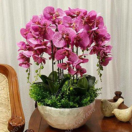 100 graines / pack japonais Radiata Seeds Aigrette Orchid Seeds espèces du monde Orchidée Rare Fleurs blanches Orchidee Plant Garden Plum