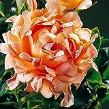 Rosier Polyantha Ruffle Dream - 1 rose