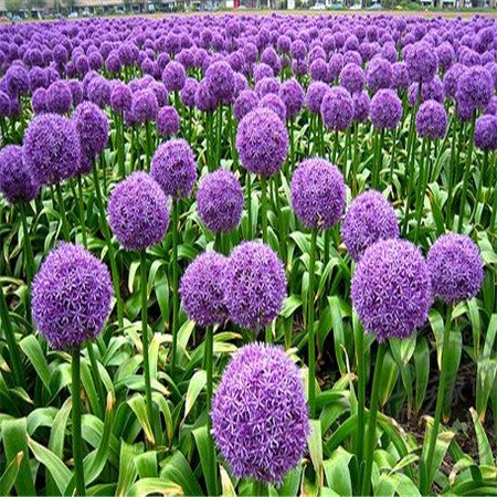 Grande vente de 100 graines géant oignon. AILSA CRAIG écossais Heirloom une énorme graine onion.Vegetable.