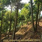 100% real Semi cinese Aquilaria sinensis arboree rare Agarwood Seed esterna giardino profumato di incenso di legno Piante Chenxiang Sementes