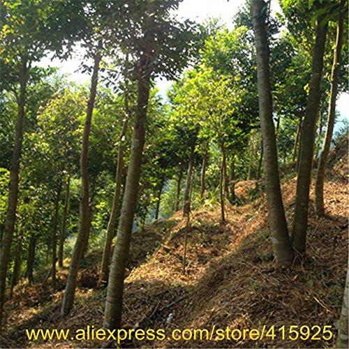 100% réel Seeds chinois Aquilaria sinensis arbre rare Agarwood semences extérieur Jardin Parfumé Encens Bois Plantes Chenxiang Sementes