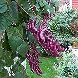 Ysmklo 10 Pcs Hyazinthen Bohnen Reben Samen Garten blühende Anlagen im Freien Blumensamen