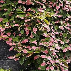 Dominik Blumen Und Pflanzen, Zier-kiwi, 3 Pflanzen