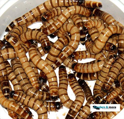 Zophobas, 250g lebend und frisch verpackt Futterinsekten, Angelköder 1kg/35,96EUR