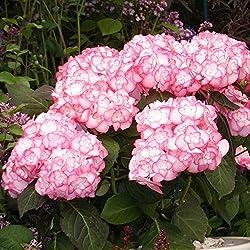 Hortensie Miss Saori weiß-pink - Hydrangea macorphylla/Gartenhortensie winterhart & pflegeleicht, doppelt-gefüllte Blüten - 1 Pflanze von Garten Schlüter - Pflanzen in Top Qualität