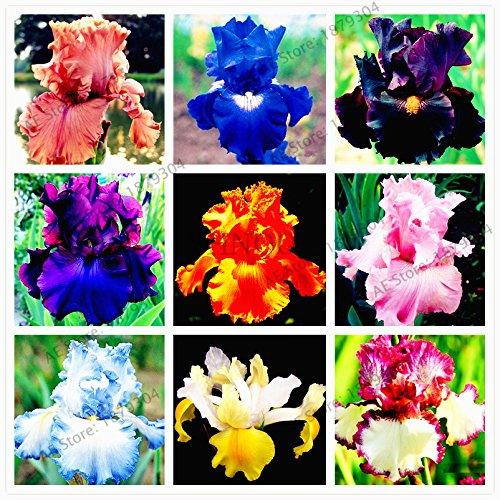 Iris Pflanzen (50pcs / bag Iris Orchideensamen, ausdauernde Pflanze Bonsai Schmetterling Iris Blumensamen für zu Hause Garten Bepflanzung)