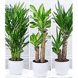 """BALDUR-Garten Zimmerpflanzen-Mix""""Palme XXL"""", 3 Pflanzen 1 Pflanze Areca Palme, 1 Pflanze Dracena Massangeana und 1 Pflanze Yucca-Palme"""