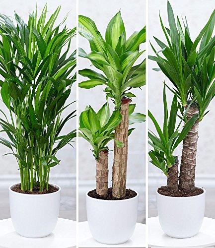 BALDUR-Garten Zimmerpflanzen-Mix'Palme XXL', 3 Pflanzen 1 Pflanze Areca Palme, 1 Pflanze Dracena Massangeana und 1 Pflanze Yucca-Palme