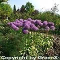Zierlauch Globemaster - Allium macleanii von Baumschule auf Du und dein Garten
