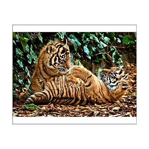 Media Storehouse 10x8 Print of Rare Sumatran tiger cubs at Chessington World of Adventures (1040495)