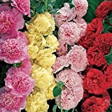 Flower Seeds : Hollyhocks Powderpuff Dbl Mix Flower Seeds – Kitchen Garden Pack by Creative Farmer