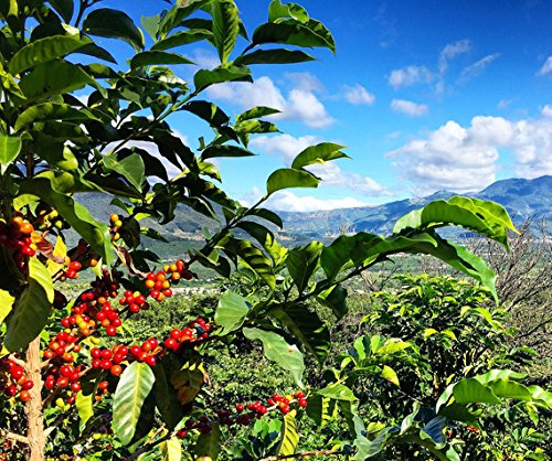 Redber-Guatemala-Antigua-Cieba-Green-Coffee-Beans-1kg
