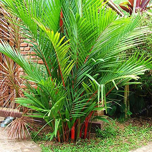 Pinkdose 10 Pz/borsa Rossetto Palm Cyrtostachys Renda Albero Rosso Ceralacca Cera Palm Bonsai Pianta in Vaso Per La Casa Giardino