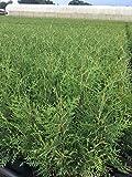 Portal Cool Thuja Brabant Tree Of Life Hedge Pflanzen 80-100cm In 3 L Pot