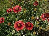 Rote Kokardenblume Gaillardia aristata 'Burgunder' 100 Samen