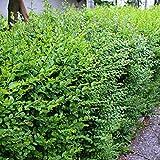 Ligustrum sinensis – chinensis (Ligustro) [Vaso Ø18cm]