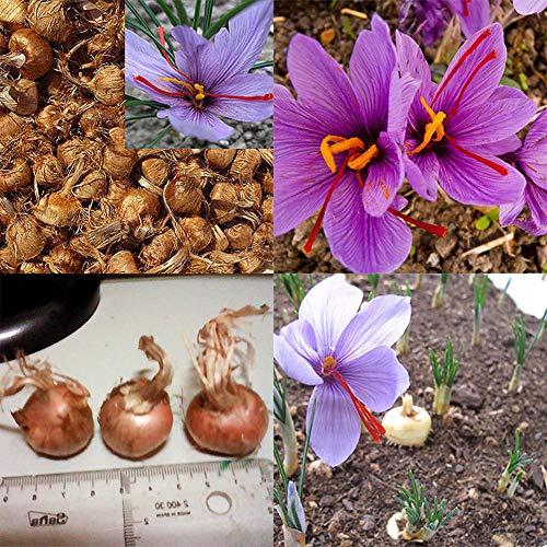 plantree 8pcs zafferano bulbi crocus sativus semi di fiori facile da coltivare pianta da giardino abbastanza