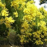 25 Samen Gold-Akazie Baumsamen (Acacia cyanophylla)