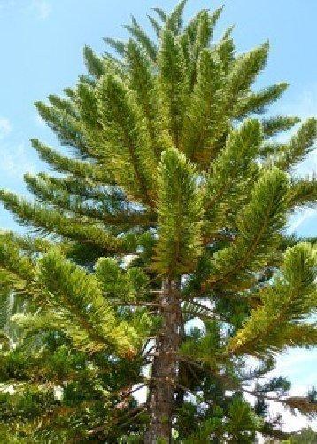 Tropica - Zimmertanne - Norfolktanne (Auraucaria heterophylla) - 5 Samen