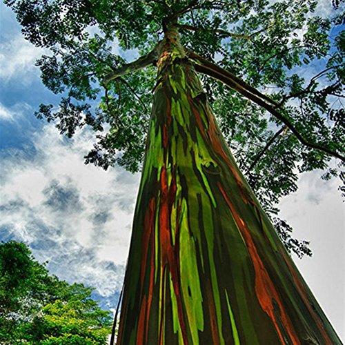 brightup-40-pieces-rainbow-eucalyptus-tree-seeds