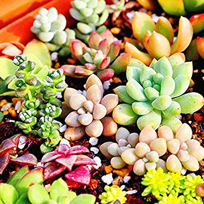 Rosepoem 100 teil / paket Multi Sukkulenten Samen Zierpflanzen Samen Hof Garten Mit Blumensamen von Rosepoem auf Du und dein Garten
