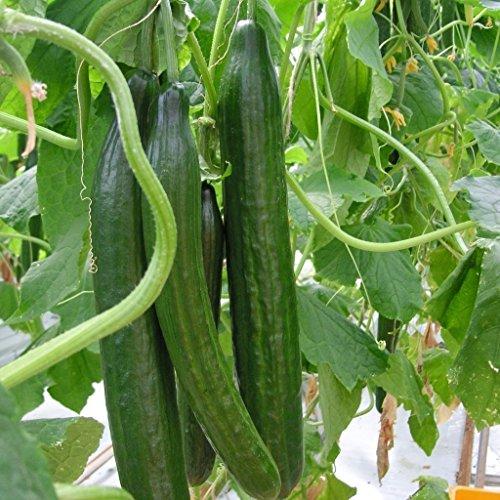 20pcs concombre Graines de légumes, concombre Herbes La vitamine Suffolk biologique, pour la salade