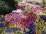 PinkdosePinkdose Blumensamen: Livingstone Daisy Seeds Gartenhecke (25 Pakete) Gartenpflanzensamen von
