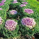 Pinkdose Blühende Zierkohl Bonsai Pflanze Blühender Kohl In Bonsai Oder Topf Gartendekoration Blume Bonsai 100 Teile/beutel: 11
