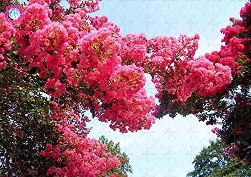 pinkdose 100pcs mirto bonsai del fiore facile coltivare fioritura perenne piante per il giardino domestico balcone cortile