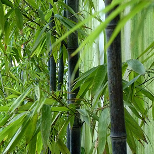 SummerRio 20/50 Stücke Bambus Samen Schwarz Lila Phyllostachys Moso Bambus Seeds Hausgarten (50 Stücke, Schwarzer Bambus) Schwarzer Bambus