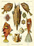 NATURE ART FISH OSTRACIONTES ERNST HAECKEL BIOLOGY GERMANY VINTAGE POSTER 875PY