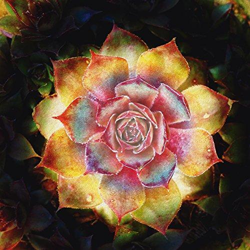 Artland Qualitätsbilder I Alu Dibond Bilder Alu Art 70 x 70 cm Botanik Pflanzen Kaktus Foto Gelb C7UD Hauswurz