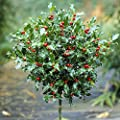 Pair of Holly Bush Standards with Berries 90-100cm tall & Gold effect Planters