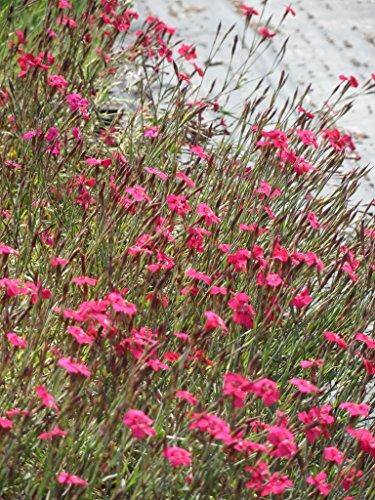 Dianthus deltoides Leuchtfunk - Heidenelke, 6 Pflanzen im 5/6 cm Topf