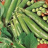 Kings Seeds - Pea Ambassador (RHS Award of Garden Merit) - 200 Seeds