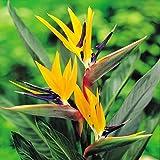 Strelitzia/Plante Oiseau de paradis - 1 plante