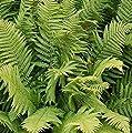 Straußenfarn - Matteuccia struthiopteris von Baumschulen bei Du und dein Garten