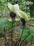 Tacca integrifolia - Fledermausblume - 5 Samen