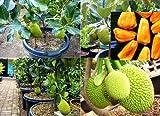 #4: Shop 360 Live Jack Fruit Tree Rare ' Dwarf Jackfruit 'Bud Plant - (1ft Height)