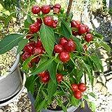 10 Samen Satans Kiss Chili – italienische Sorte, schnellwachsend