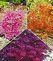 BALDUR-Garten Japanische Ahorn-Kollektion winterhart, 3 Pflanzen im Mix Acer palmatum von Baldur-Garten auf Du und dein Garten